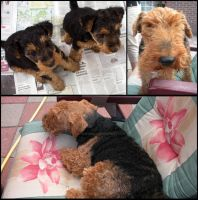 Welsh Terrier Puppies by Cataclysm-X