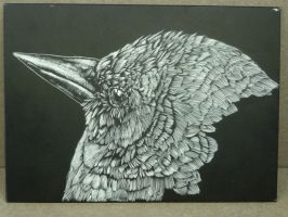 black bird scratchbord by malibar1