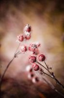 Thistles 1 by lalylaura