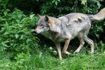 Europaeischer Wolf / Gray Wolf 7 by bluesgrass
