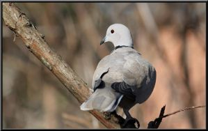Ringed Turtle Dove by SalemCat