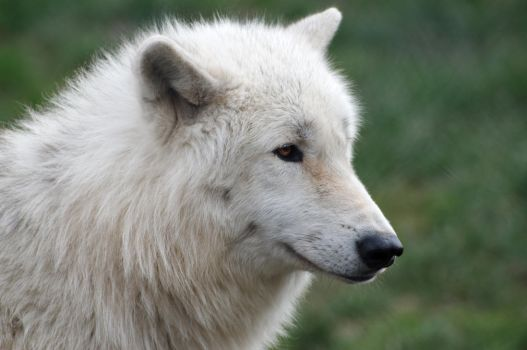 Arctic Wolf 20130401-2 by FurLined