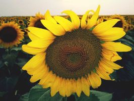 Sunflower Fields Forever by tinabob