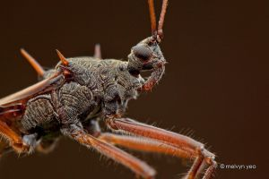 Assassin Bug by melvynyeo