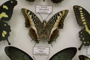 Charaxes Castor by Seraerith-stock