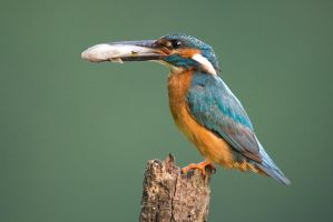 Common kingfisher - male by JMrocek
