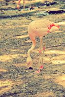 .Flamingo. by mysticmoon13