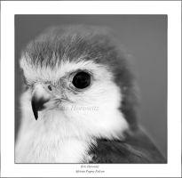 African Pygmy Falcon 4 by entropicuniverse