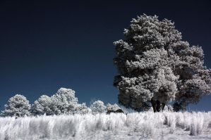 Tree In A Field IR by LDFranklin