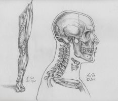 Anatomy-The Skull-Lateral View by andrewcox