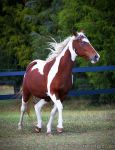 bay tobiano paint horse 1 by venomxbaby