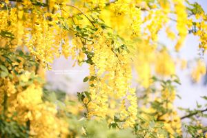 Yellow Haze - Day 110 by rosannabell