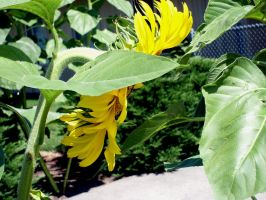 Sunflower by Zeds-Stock