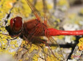 Red Dragonfly by Vonburgherstein