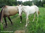 Akhal teke filly by afleetalex