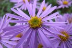 Flowered by Clangston