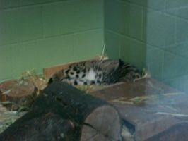 Zoo Trip: Clouded Leopard by AnimePeep33