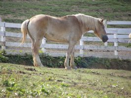 draft horse by JuneButterfly-stock