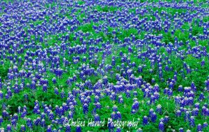 BlueBonnets_5 by cehavard90