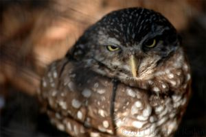 A Rather Grumpy-Looking Owl... by JonShotFirst