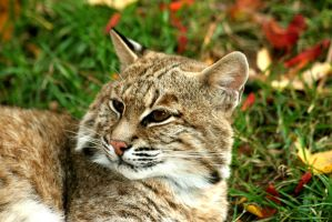 High-Res Bobcat Head by Ironpaw