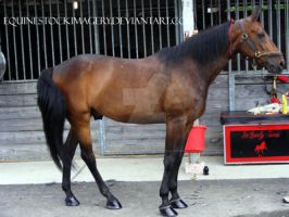 Standardbred 6 by EquineStockImagery