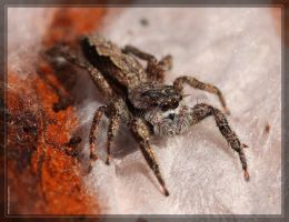 Tan Jumping Spider 40D0031531 by Cristian-M