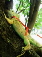 Iguana on the tree by joker-kornstantine