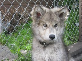Diesel-Our wolf pup by Swordexpert-Stock