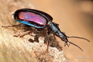 Ground Beetle by melvynyeo