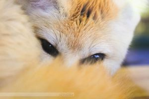 Eyes of the fennec fox by JennyTangen