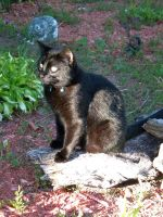 Shadow Cat stock 1 by asphyxiate-Stock