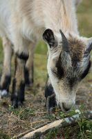 Goat I by linneaphoto
