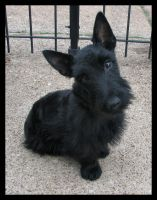 JACK - SCOTTIE PUP 2 by CRYSTALSPICS