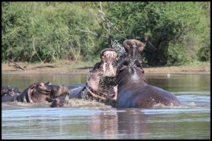 Hippos Playing by mikewilson83