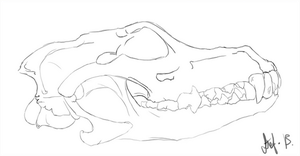 Wolf Skull study by nightspiritwing