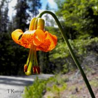 Tiger Lily by TRunna
