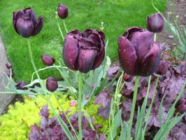 Tulips Stock 23 by GreenEyezz-stock