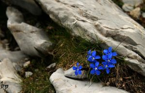 Gentiana Verna 3 by OK-Photography