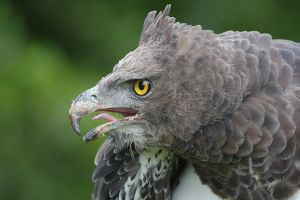 Martial Eagle by joeelway