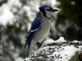 Bluejay Sitting Straight by Lou-in-Canada