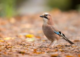 Autumn Jay by StephiPhotography