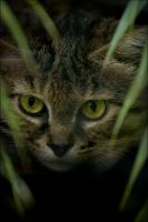 Black Footed Cat by hoboinaschoolbus