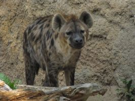 Spotted Hyena 28 by animalphotos