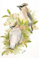 Cedar waxwings by Ned-The-Hat