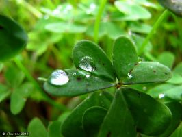 Dew on Clover by oToupeira