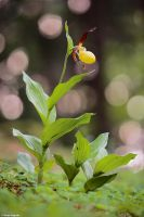 Cypripedium calceolus 2011 III by Aphantopus
