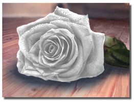 White Rose by collie-rado