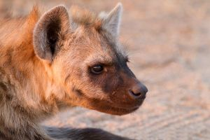 Spotted hyena by CarlSutherland