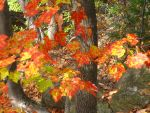 red maple fall leaves by crazygardener